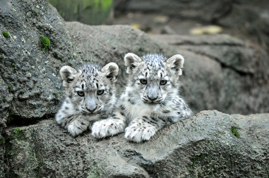 Number Of Snow Leopards And Behavior